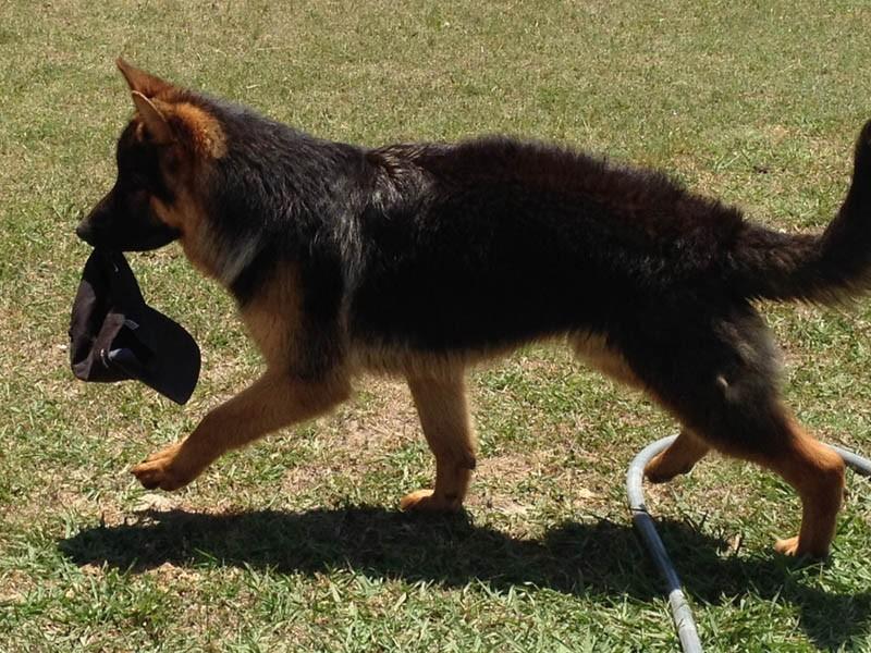USA GERMAN SHEPHERD BREEDERS of top quality West German show line German Shepherd puppies | Nevada Haus