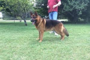 V CLIFFORD VON ARLETT IPO1 KKL - German Shepherd Studs