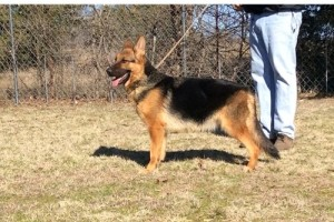 EVIL VOM NEVADAHAUS - German Shepherd Breeding Females