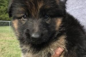 ELVIS VOM NEVADAHAUS - German Shepherd Puppies