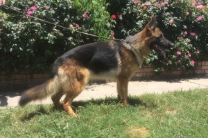 SG EMY VON DER SCHMIETRANKE - German Shepherd Breeding Females