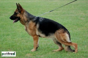 V FANTASY VOM ROSENSSEE IPO1 KKL - German Shepherd Breeding Females