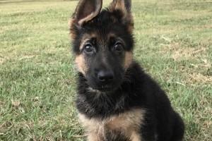 GABRIELLE VOM NEVADAHAUS - German Shepherd Puppies