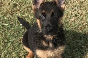 GINGER VOM NEVADAHAUS - German Shepherd Puppies