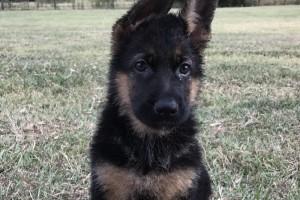 GUINNESS VOM NEVADAHAUS - German Shepherd Puppies