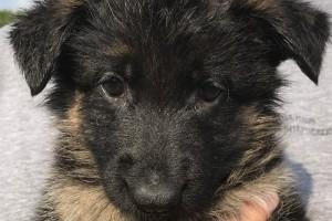 HALEY VOM NEVADAHAUS *BREEDER'S CHOICE* - German Shepherd Puppies