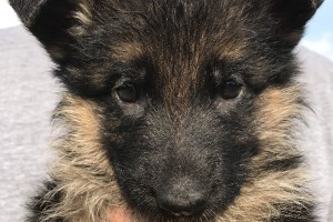 HARMONY VOM NEVADAHAUS - German Shepherd Puppies