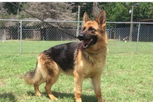 MAGPIE VOM NEVADAHAUS - German Shepherd Breeding Females