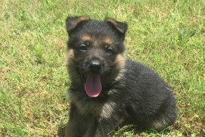 MALE PUPPY OF NATALIE AND CLIFFORD W1 - German Shepherd Puppies