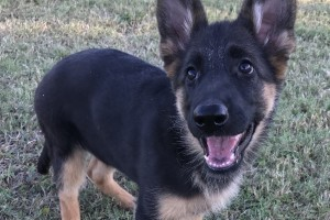 HALEY VOM NEVADAHAUS *BREEDER'S CHOICE* - German Shepherd Puppies