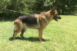 V NATALIE VOM NEVADAHAUS SCHH1 KKL1 (RETIRED) - German Shepherd Breeding Females