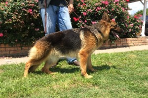 NINA VOM NEVADAHAUS - German Shepherd Breeding Females