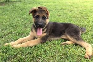NATASHA VOM NEVADAHAUS - German Shepherd Puppies