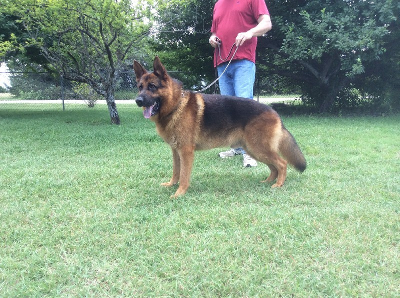 Nevada Haus kennels - German Shepherd breeders in Nevada, Texas