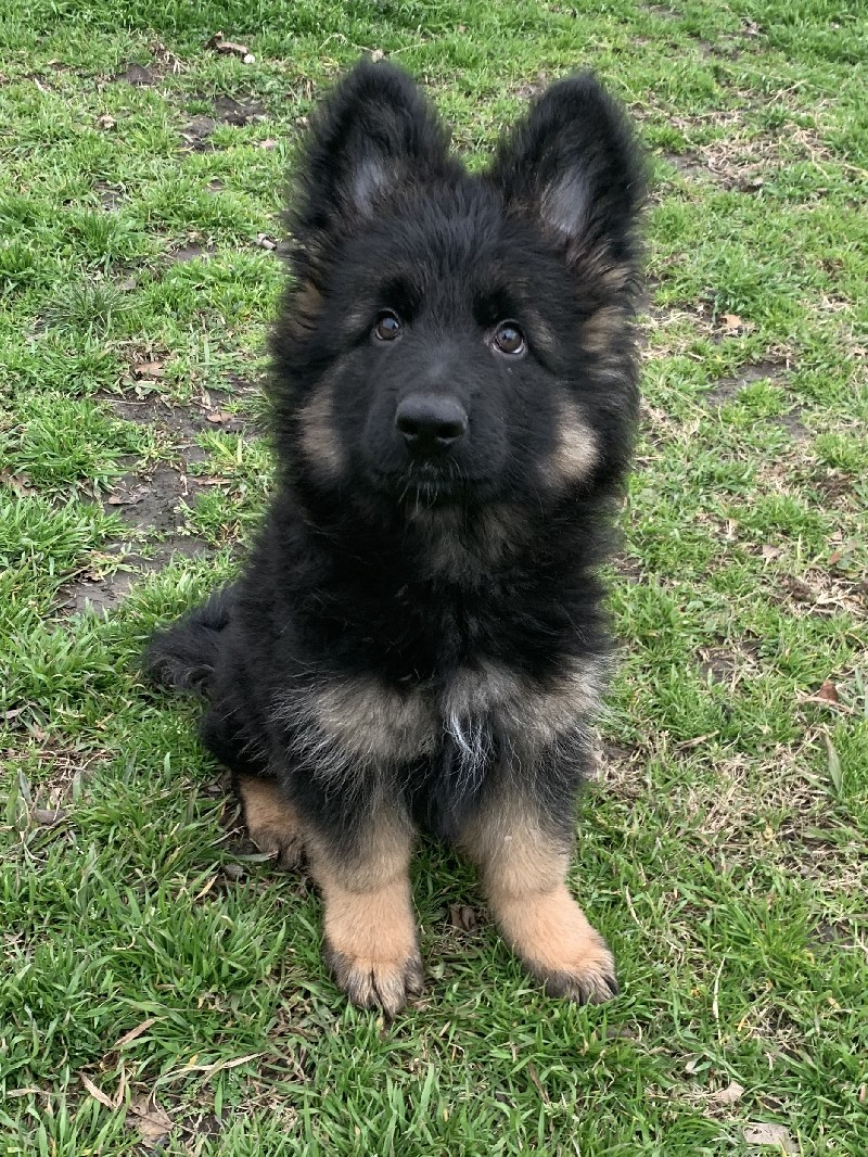 Victor Vom Nevadahaus Male Longcoat Puppy Of Miracle And Oz German Shepherd Puppies